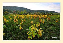 Milkweed-Autumn2.jpg