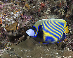 Adult_Emporer_Angelfish.jpg