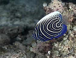 Juvenile_Emporer_Angelfish.jpg