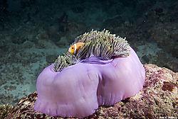 Maldivian_AnomeFish1.jpg