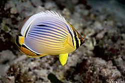 Oval_Butterflyfish.jpg