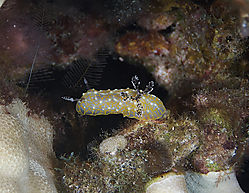 Gold_Lace_Nudibranch.jpg