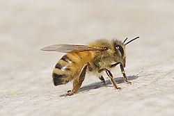 Bee16.JPG