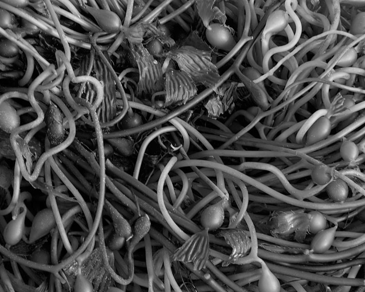 spaghetti-kelp