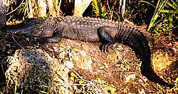 gator2.JPG