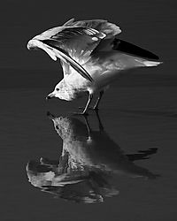 gull-reflected-grad.jpg