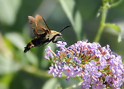 Hummingbird_moth_on_butterfly_bush.jpg