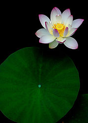 Pond_Flower1.jpg