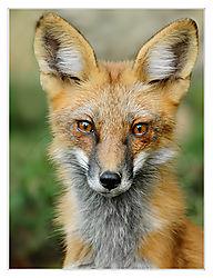 Red-Fox-1-For-Print_DSC7487.jpg