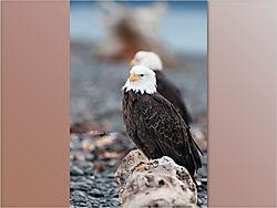 Eagle_1-11.jpeg