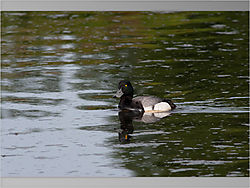 Greater_Scaup2-1.jpeg