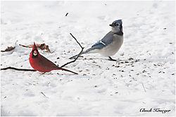 Cardinal_Bluejay_1-2-10.jpg