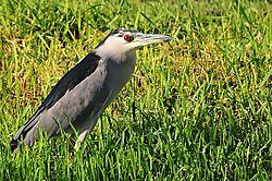 Black-crowned-Night-Heron1.jpg