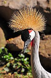 Grey-Crowned-Crane.jpg