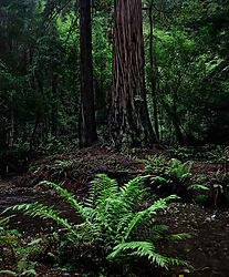 DSC9185_BP_Fern_Stream_Redwood_WEB.jpg