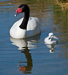 Black_-Necked_Swan_Cygnet.jpg