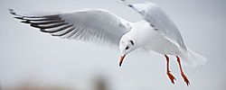 Black_Headed_Gull_1_.jpg