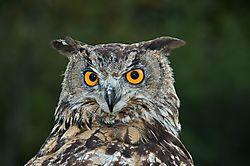 European_Eagle_Owl_-_FNL_3508.jpg