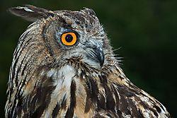 European_Eagle_Owl_-_FNL_3519.jpg