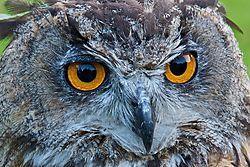 European_Eagle_Owl_-_FNL_3535.jpg