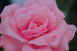 Pink-unmapped-web.jpg