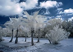Palm_Trees_in_Infrared.jpg