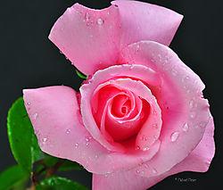 Rose_-DSC_5734.jpg