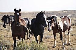 Wild-Horses-Cody-Wyoming.jpg
