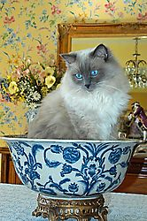 Harley_Kitten_in_Bowl.jpg