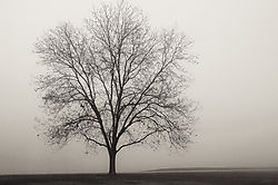 A_tree_in_fog.jpg