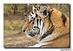 Tiger_II.jpg