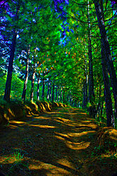 Pine-trees-02.jpg
