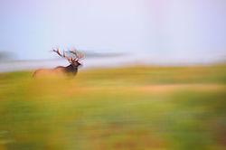 Elk_Speed.jpg
