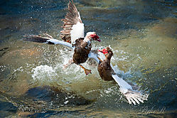 Muscovy_Ducks_Fighting-25.jpg