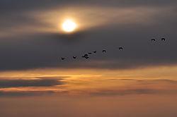 Goose-going-home.jpg