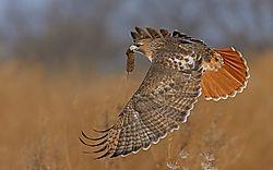 Hawk33.jpg
