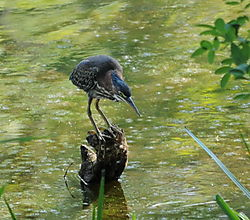 Monet_Green_Heron.jpg