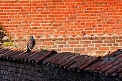 Pigeon4.jpg