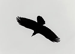 Raven2.jpg