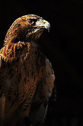 Red-tailed_Hawk2.jpg