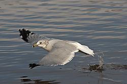 Sea_Gull_Food_Grab1.jpg