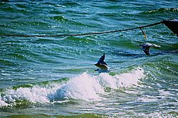 Seagulls_riding_the_waves_under_the_tow_line.jpg