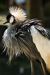 crowned_crane_3_of_1_.jpg