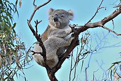 Koala_2_01.JPG
