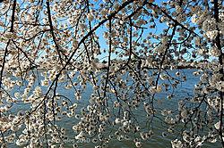 Cherry_Blossoms_20100331-520.JPG