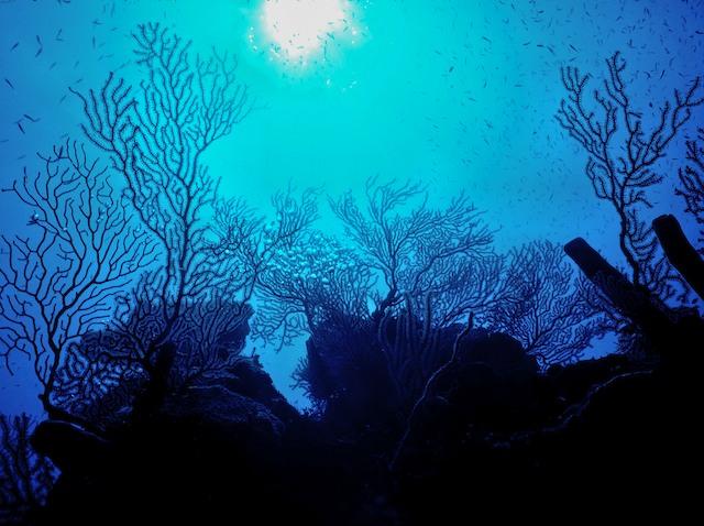 Coral_Silhouette