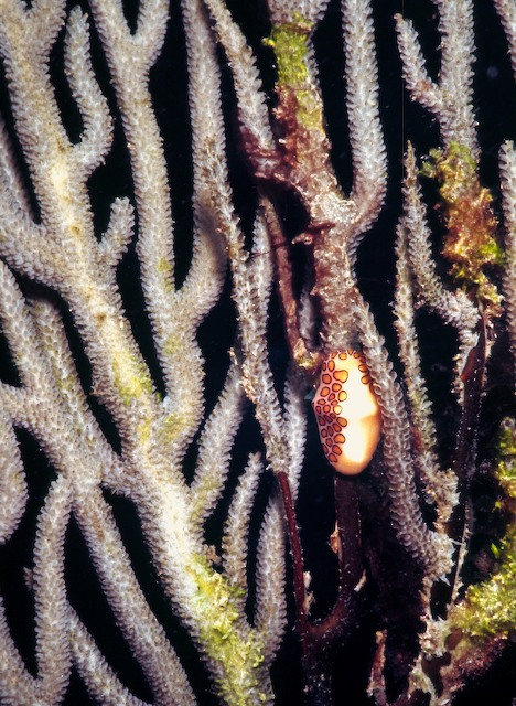 Flamingoe_Tongue_Snail_on_Gorgonian_Coral