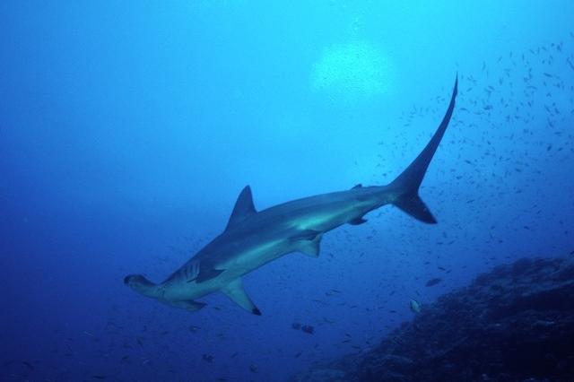 Hammer_Head_Shark