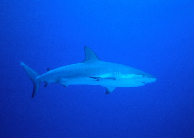 Reef_Shark_Cruising