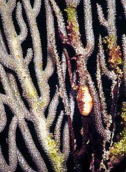 Flamingoe_Tongue_Snail_on_Gorgonian_Coral.jpg